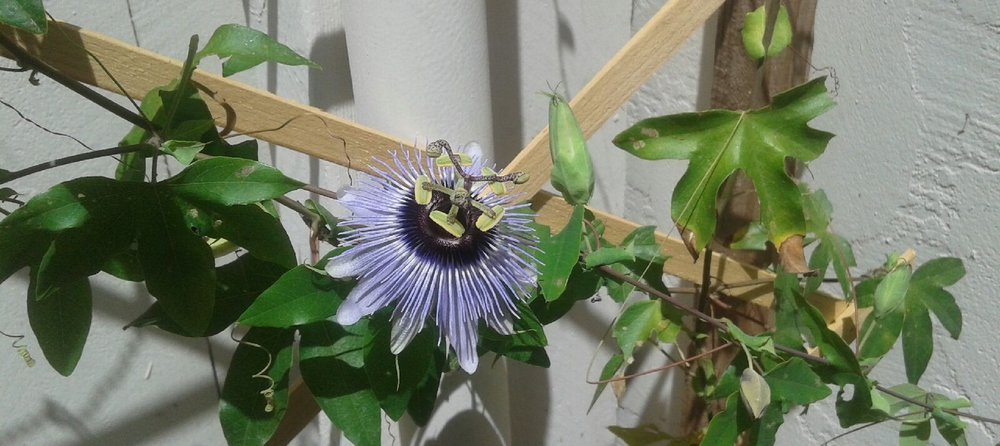 Passion flower blooming in my backyard!