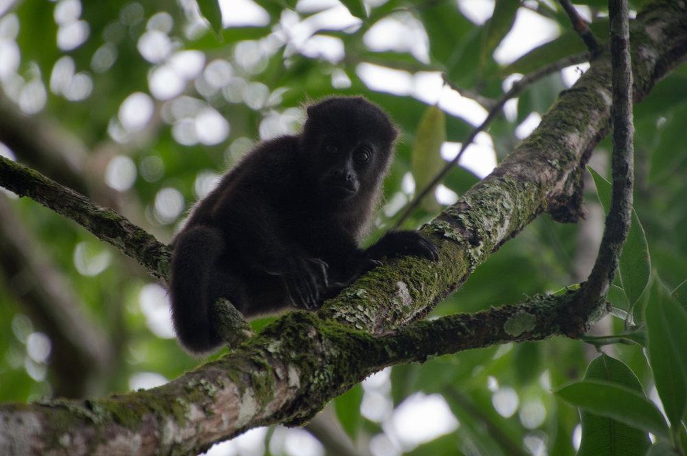 A juvenile black howler monkey looks down upon non-arboreal primates from Miami University.
