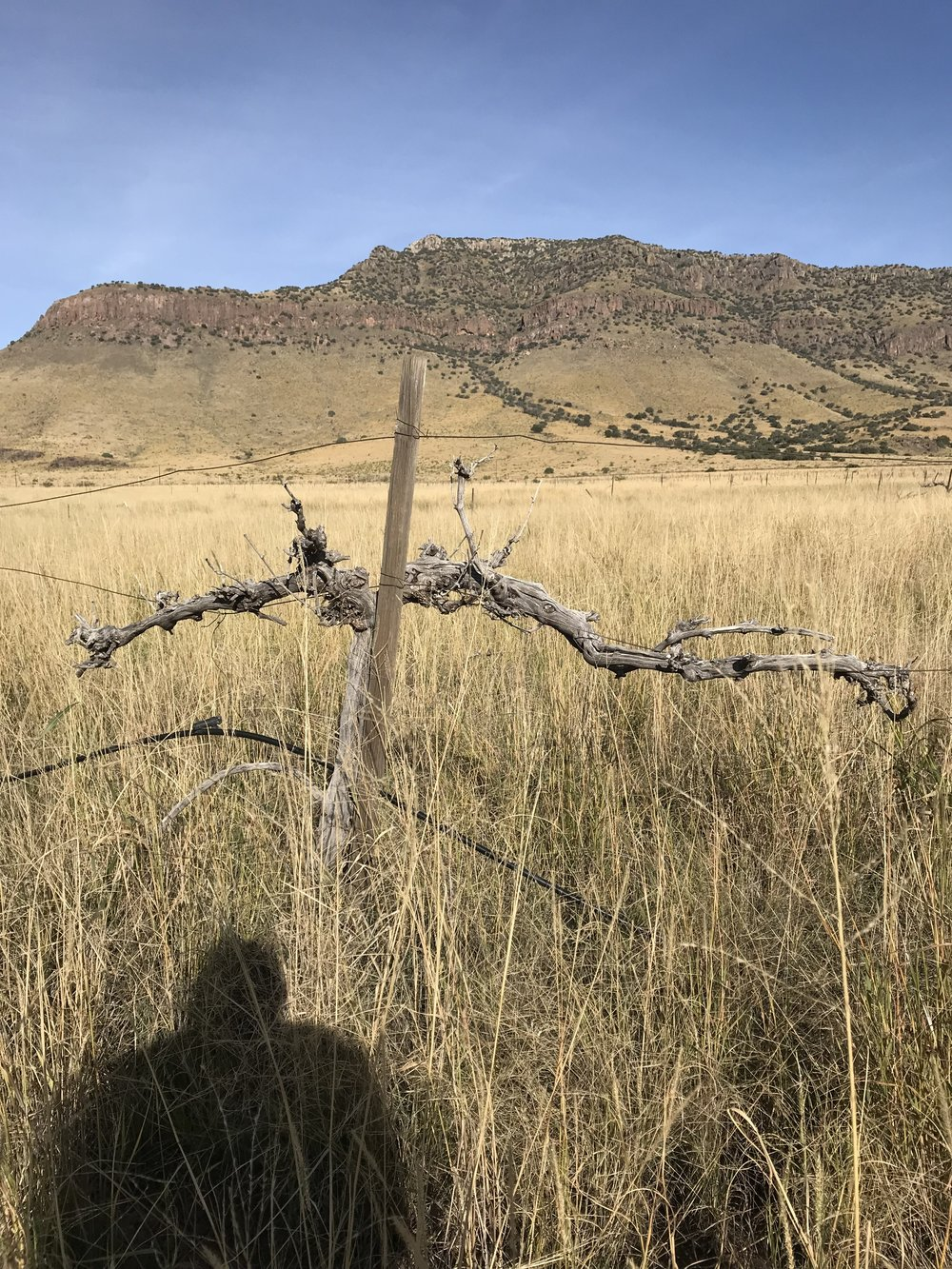 Old vine skeleton at what was once Blue Mountain Vineyard. Planted in the 1970's, this was the first vineyard in the Texas Davis Mountains AVA.