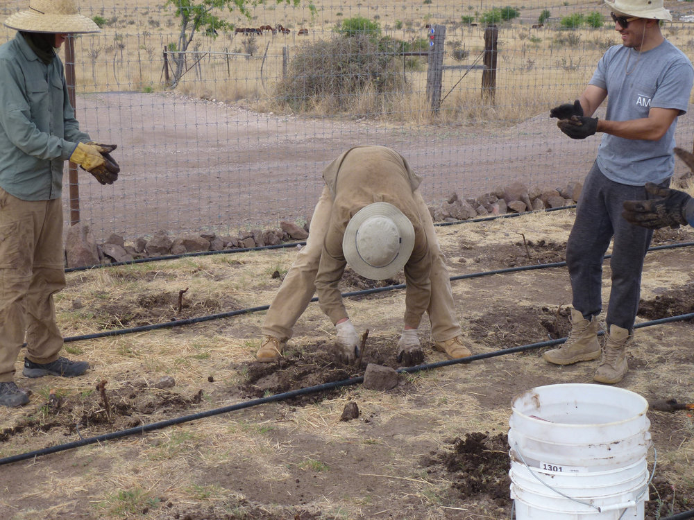 Here I am putting the last vine in the ground. Everyone was completely exhausted at this point.