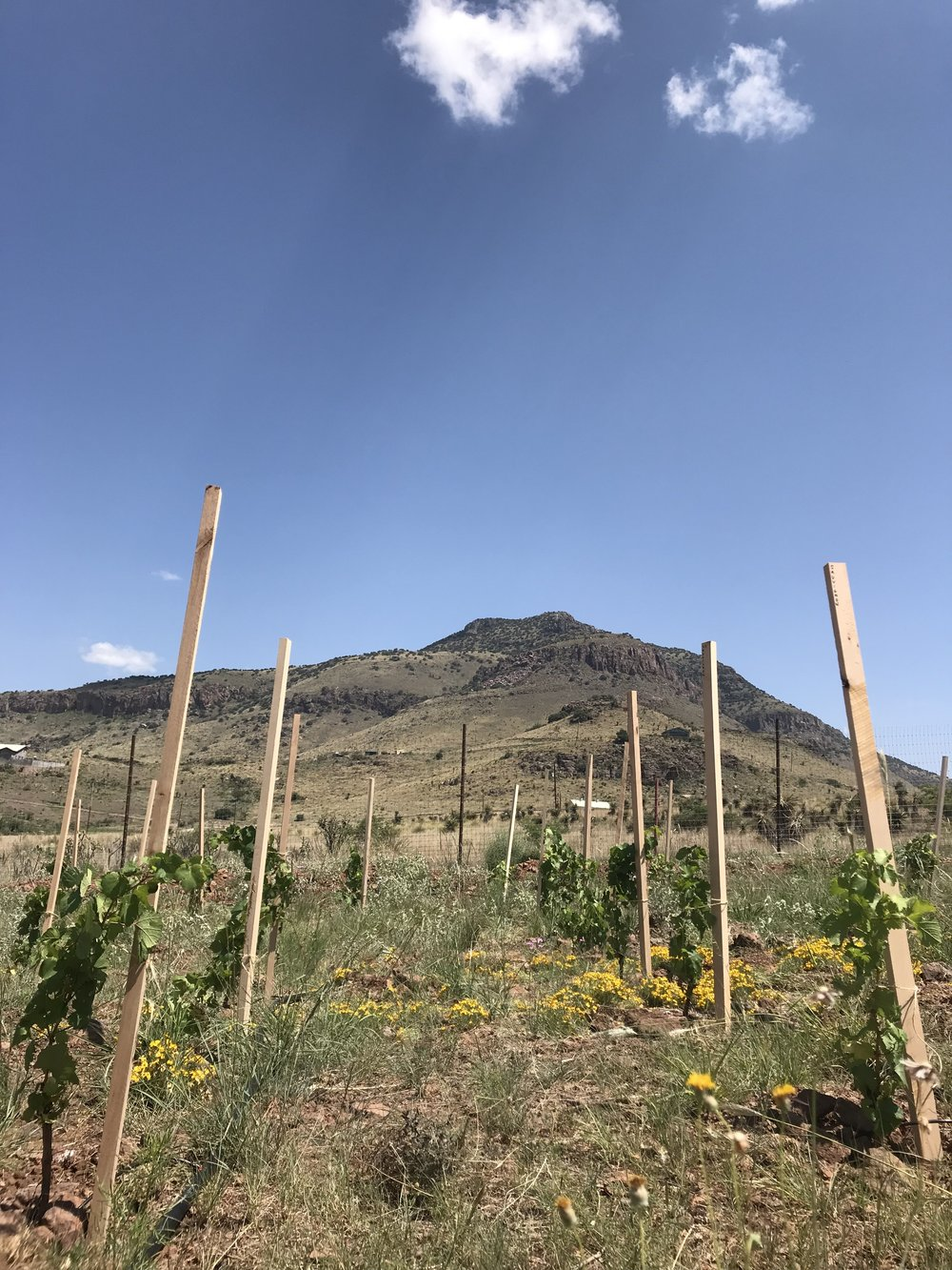 Vines tied to their stakes, Blue Mountain in the background.