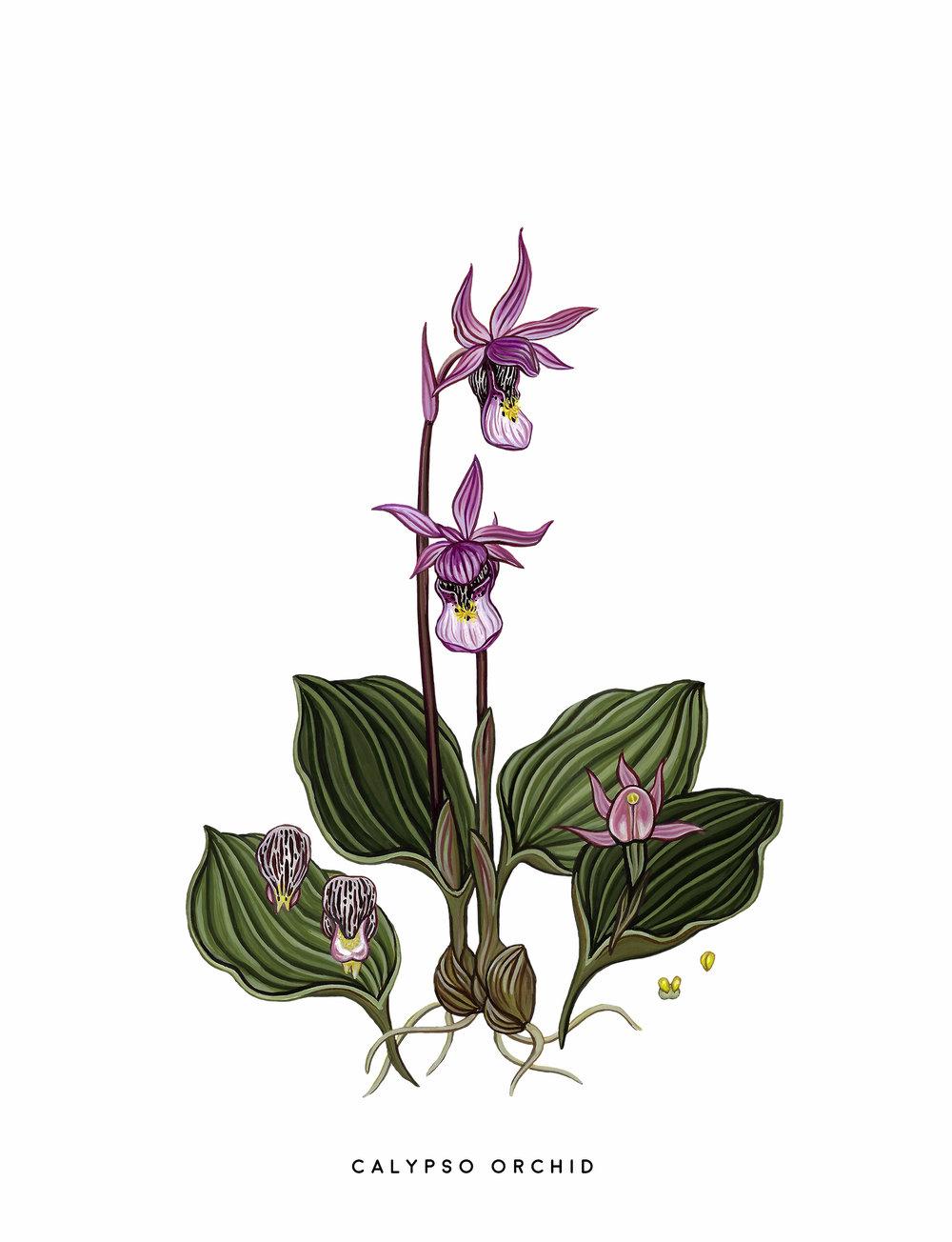 Scout Paper Calypso Orchid Art Print.jpg