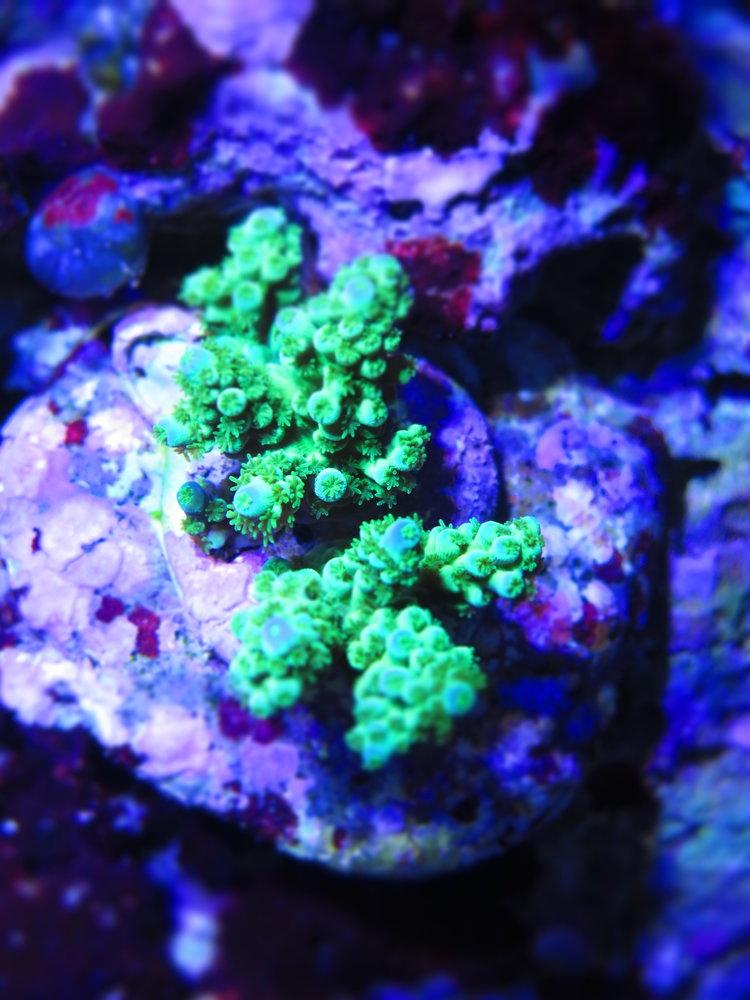 Mariculture+Green+Acropora-format=750w.jpg