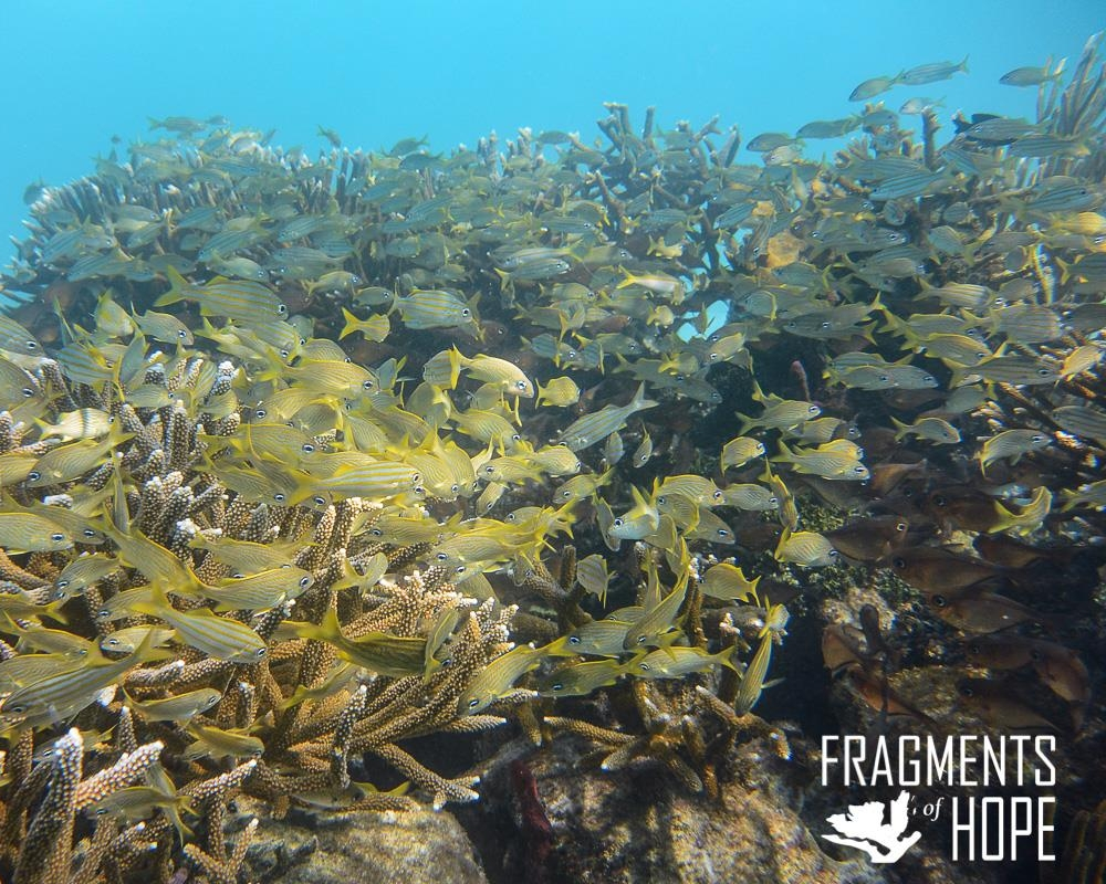 Once corals are replanted, marine life returns and reefs are revitalized.  Photo Provided By Fragments of Hope, Belize
