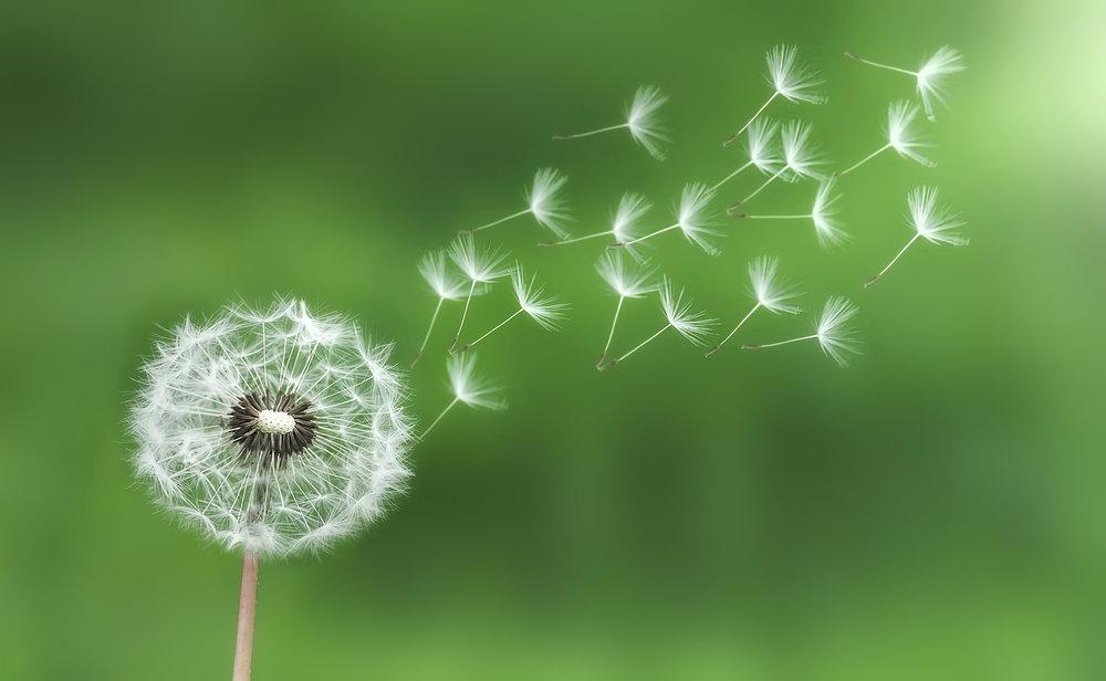 bigstock--159576878 dandelion.jpg