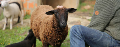 STIP - Leader of the flock STIP is our pet sheep, who always responds to her name and comes for a scratch. Excellent leader to move the flock to the next pasture.