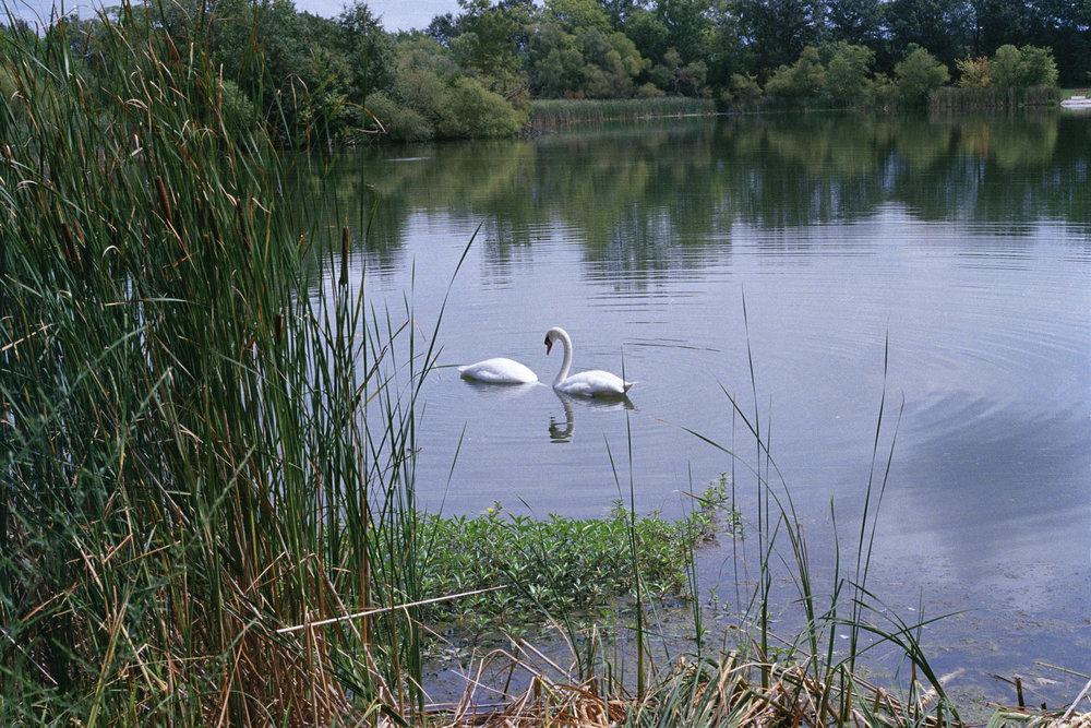 (edit)Swan1 001.jpg