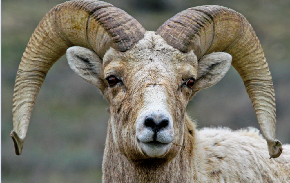 The  National Bighorn Sheep Interpretive Center  is the foremost expert on one of the biggest Bighorn Sheep populations in the United States.
