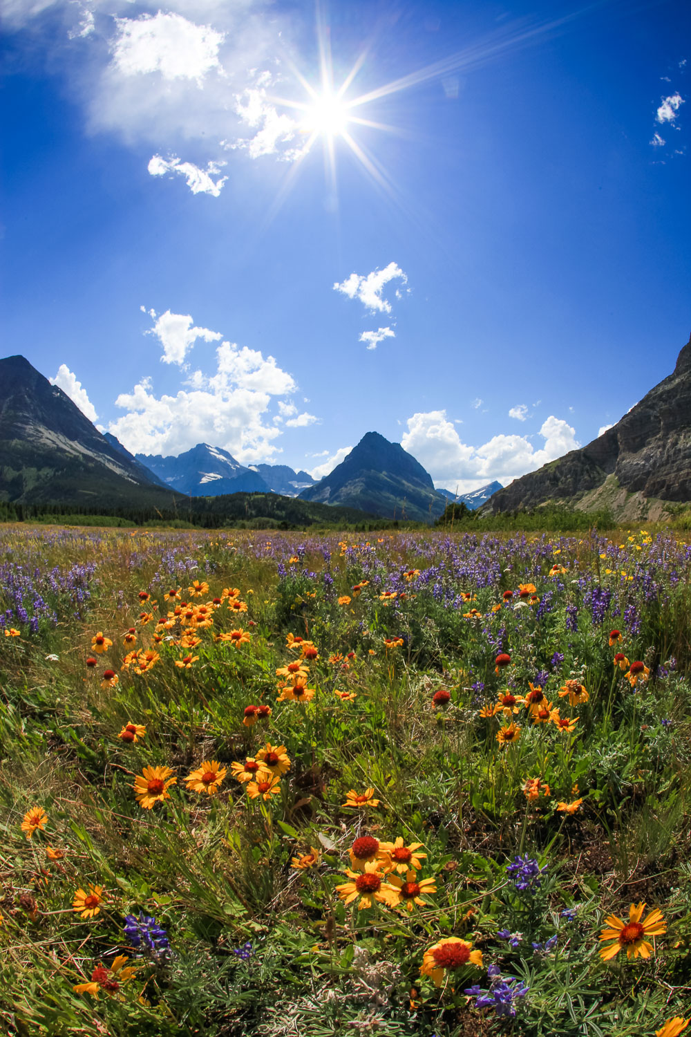 Wildflowers at noon, Many Glacier Montana