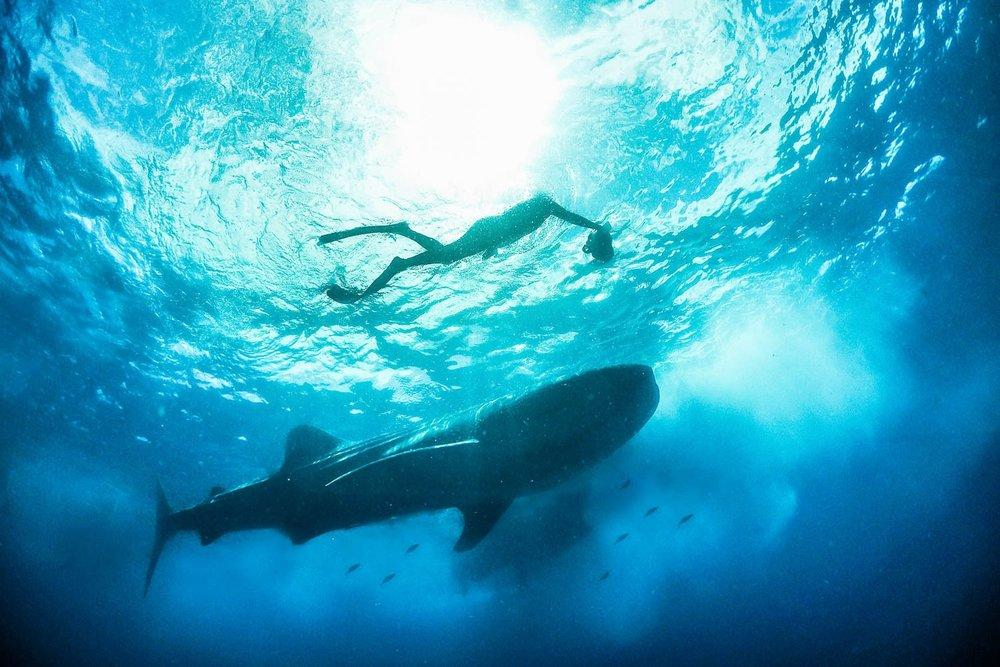 Whale shark and company, Mexico