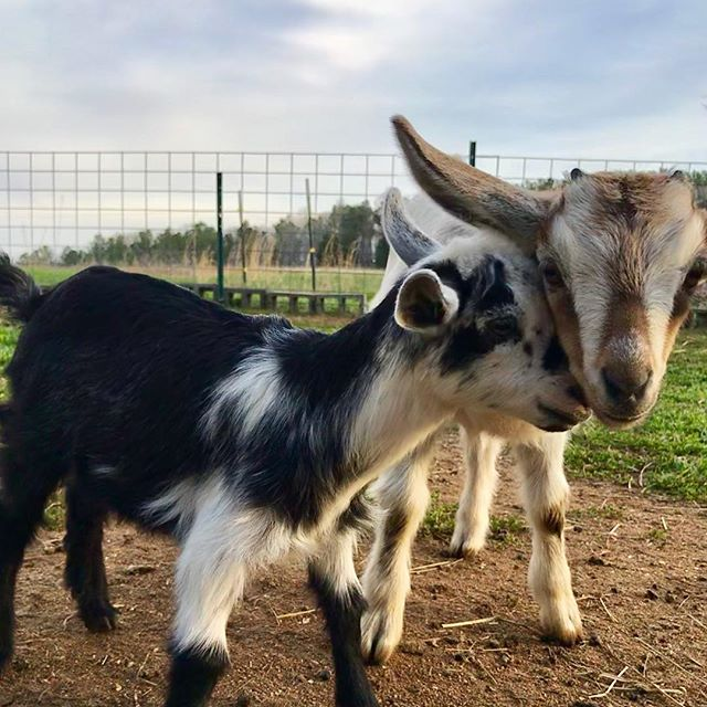 Sweet loves ❤️ #goatsofinstagram #babygoats