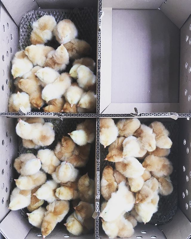 #splitacrefarm chicken coming soon!