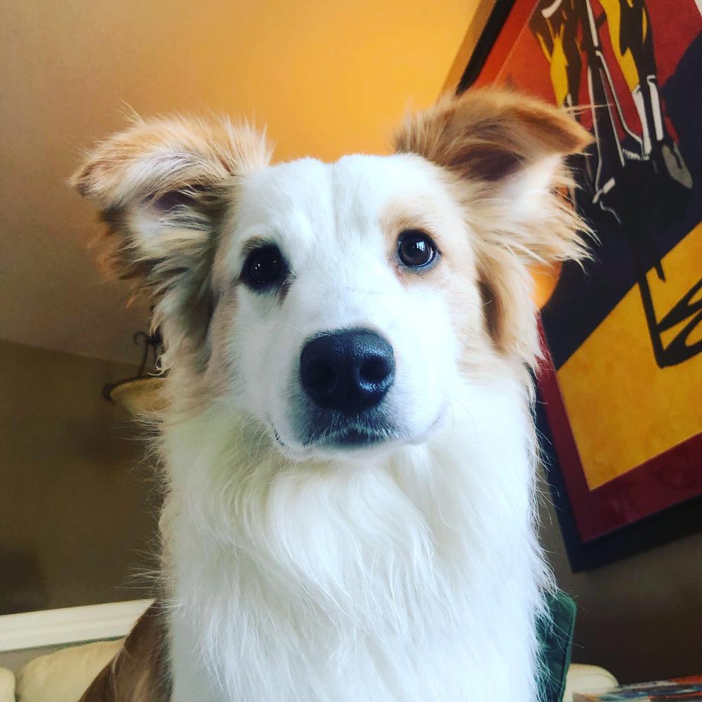 Eddie (aka #EddieSpaghettiTornadoBoy) waiting patiently between play sessions.  Border Collie Rescue of Minnesota  alum.