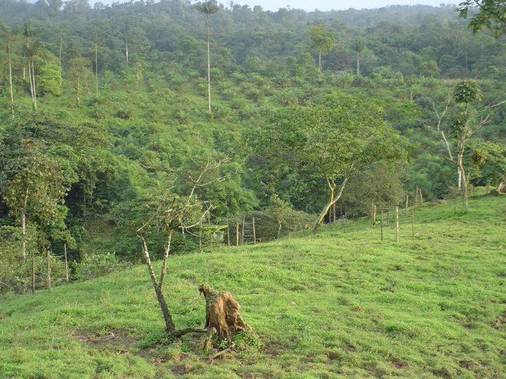 Once primary forest, this pasture is now only suitable for cattle grazing.