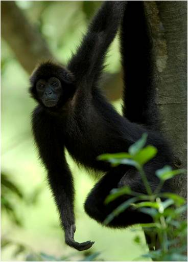 Critically endangered Coastal Spider Monkey