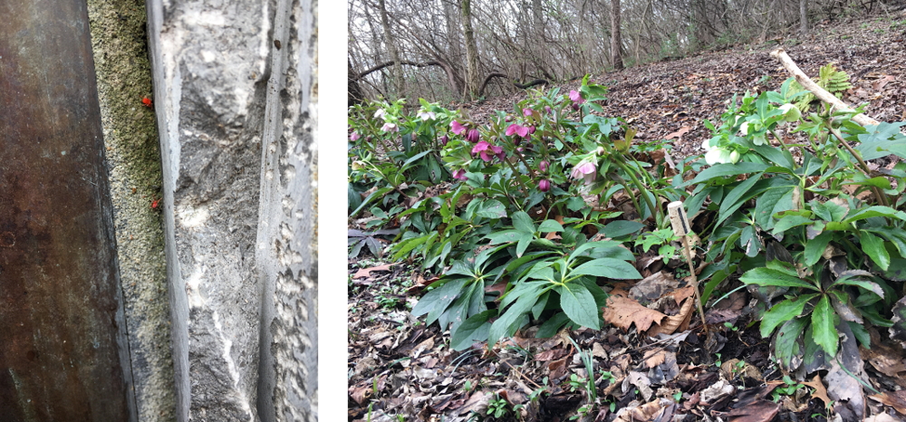 The hellebore and chiggers are thriving.