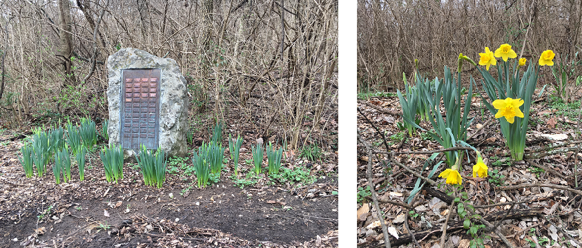 Early daffodils are beginning to bloom!