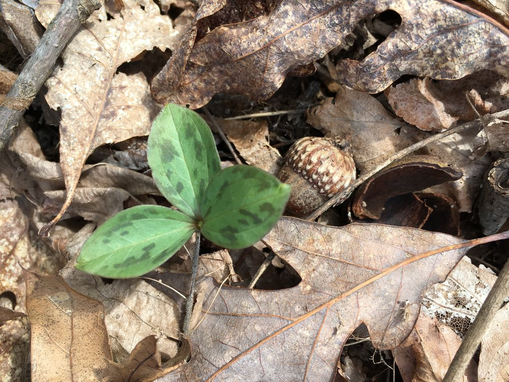 This trillium is on the Upper Path. -