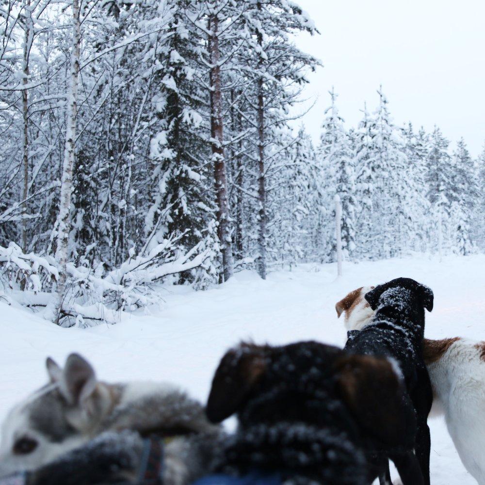 lapland-dogs-rucksack-magazine