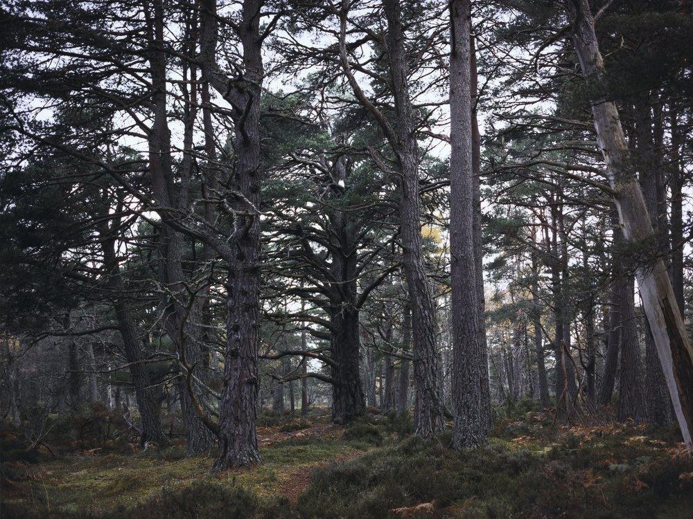 2_CL_Pinus-silvestris-_illeg._-Plate-n┬░1245_Aviemore_Rothiemurchus_October-2011_mini.jpg