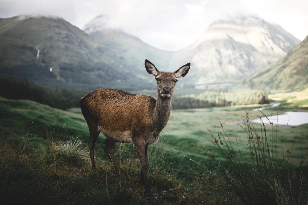 fluffy the deer landscape.jpg