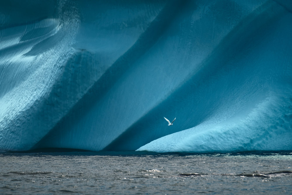 GREENLAND_bird_in_front_of_Iceberg_by_Maria_Sahai.jpg
