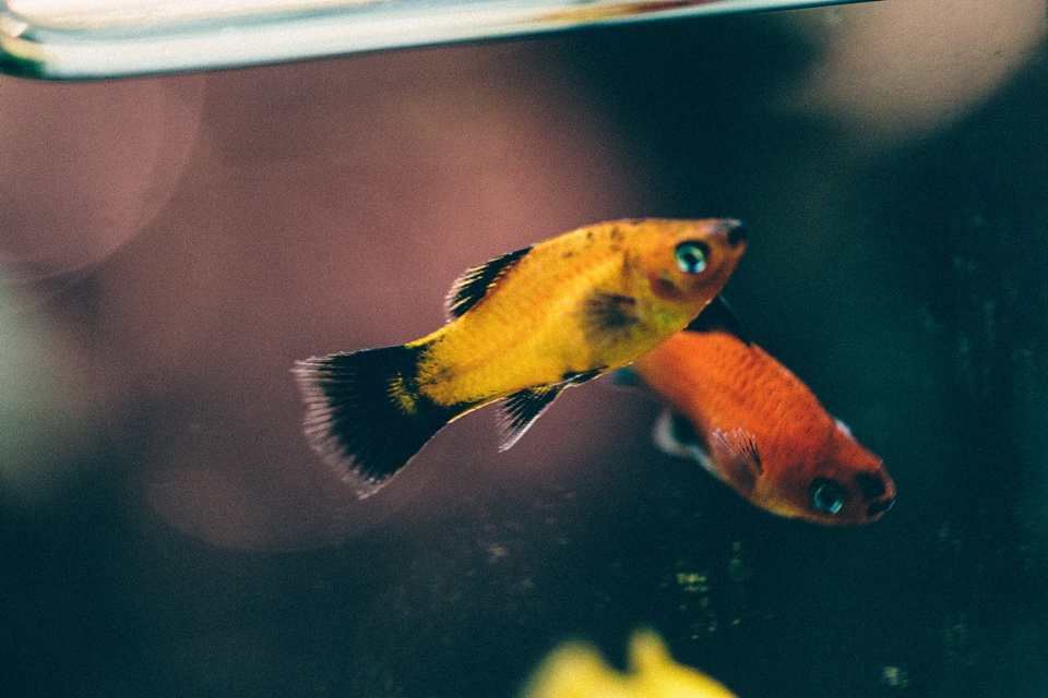 Yellow and black platy fish