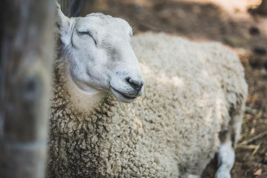 farm-sheep-resting_925x.jpg