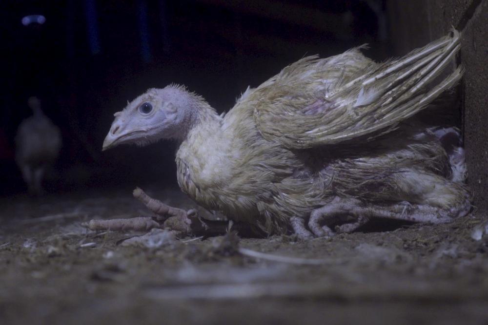 Horrifically Deformed Turkeys Discovered at UK Farm -