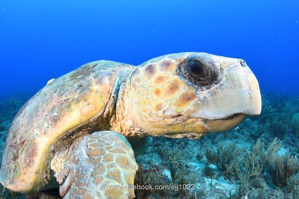ej pirates turtle closeup.jpg