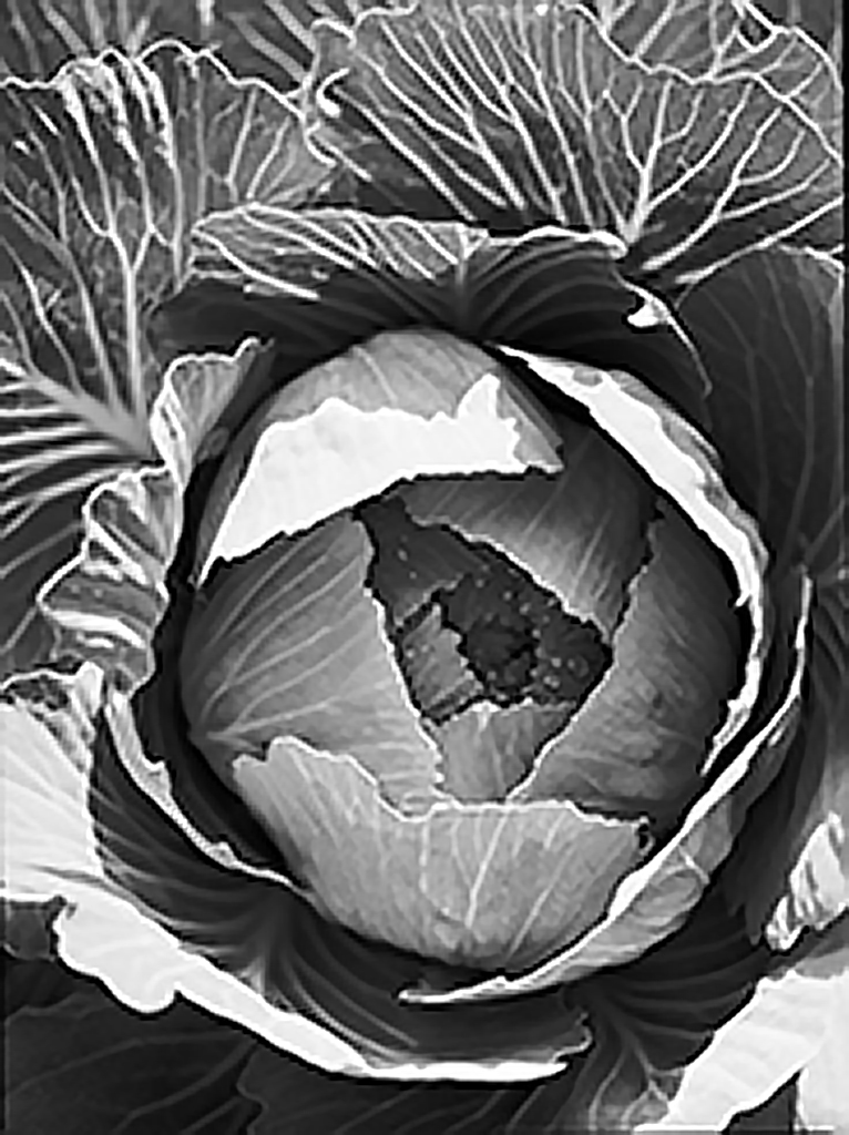 Cabbage in Black and White.jpg