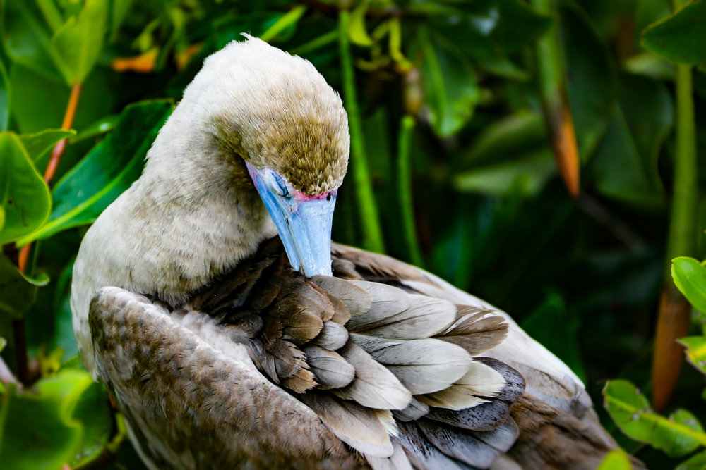 A red-footed booby in the Galapagos