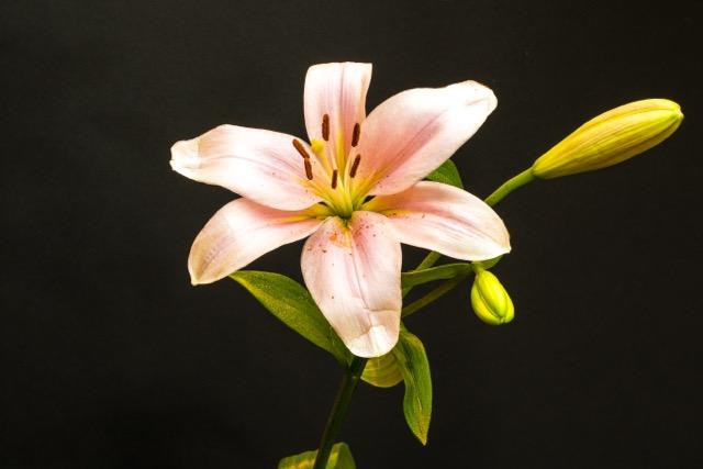 Spring Lilly