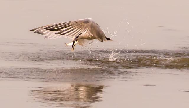 Royal Tern Breakfast