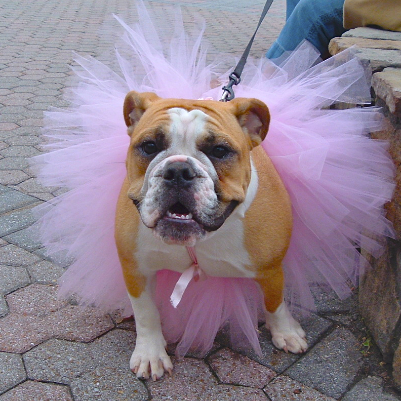 Bulldog in TuTu.jpg