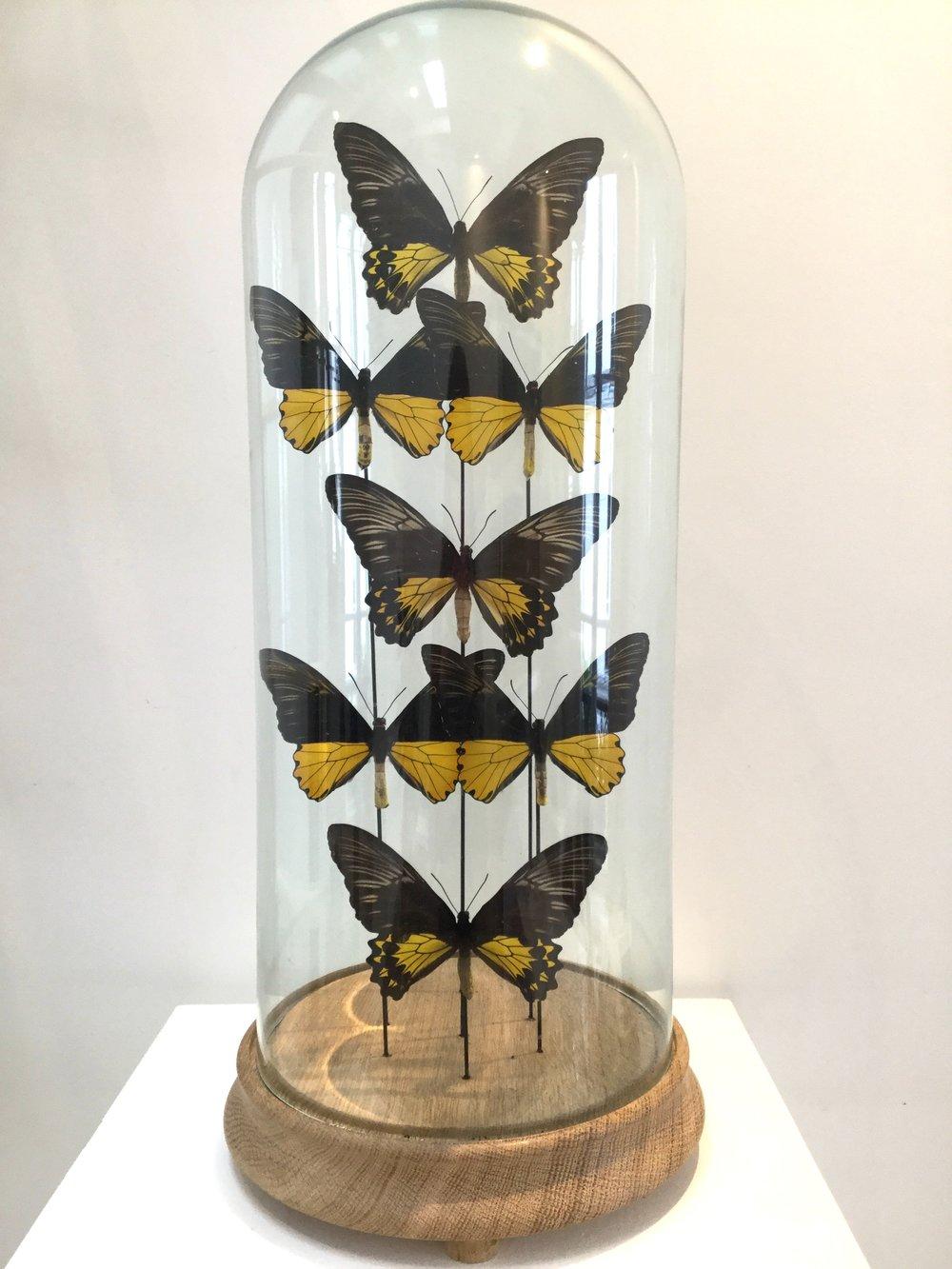 Papillons sous globe, Gérard Soudeille