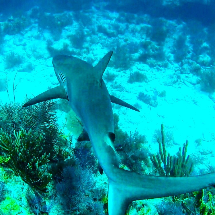 The Blacktip Reef Shark relies on the coral reefs for its survival. Photo: Curtis Whitwam
