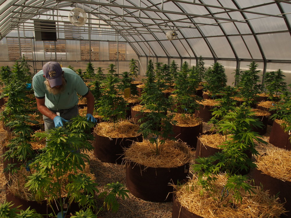 CannaGrow Production Manager Jason Wells trims plants at the Buffalo Ranch #1 facility.