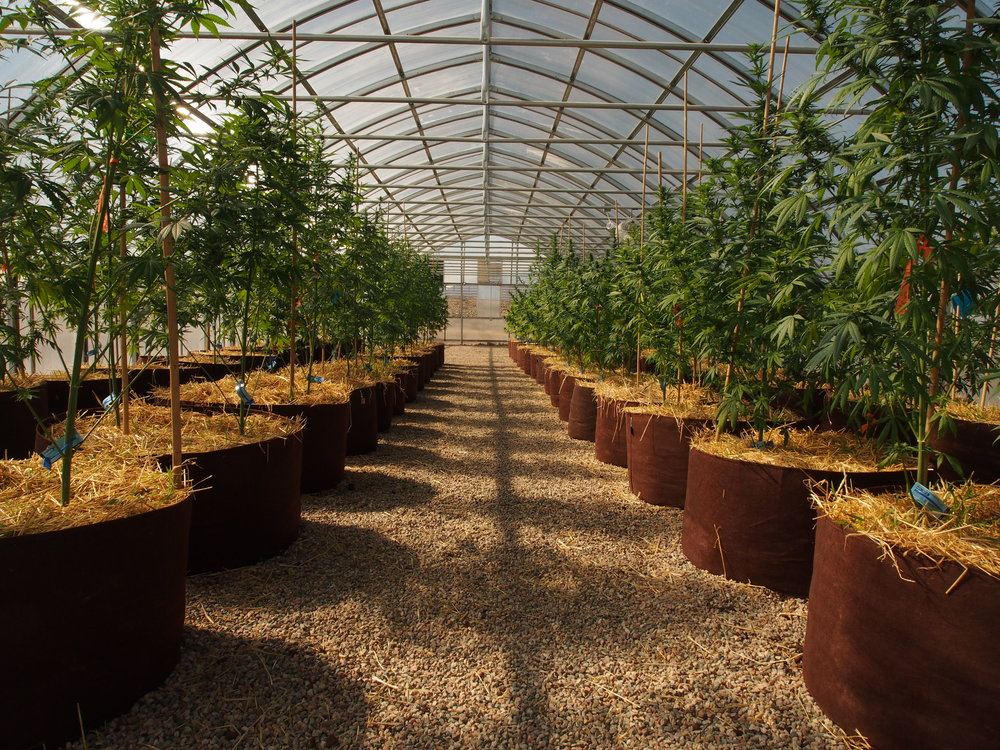 One of our Ranger Series greenhouses at Colorado Buffalo Ranch Facility I where probiotic 'living soils' and SoCo sunshine make for a thriving grow operation.