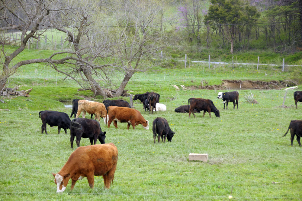 Cows are supposed to eat grass; not grains! And they should be able to move their bodies in a natural ecosystem.