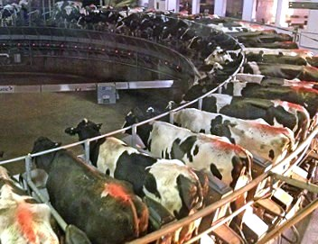 factory-farmcow.jpg