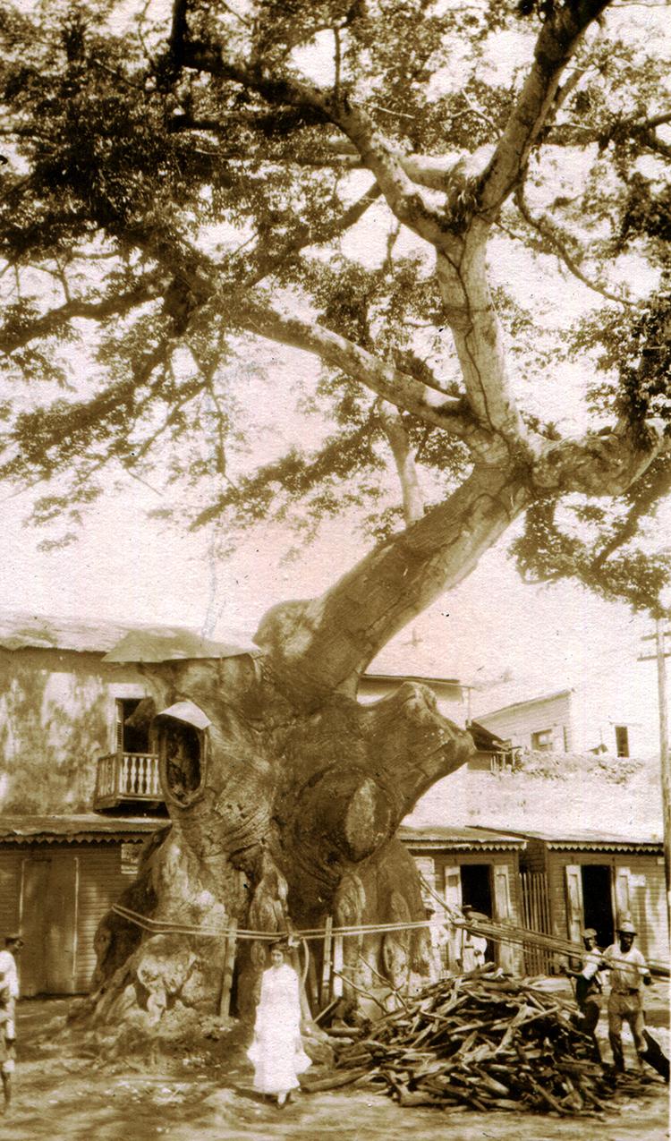 Ceiba.jpg