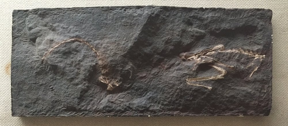 The original fossil was destroyed in the Mount Holyoke fire, but a cast of the specimen is still on display in New Haven, Connecticut, courtesy of the  Peabody Museum of Natural History .