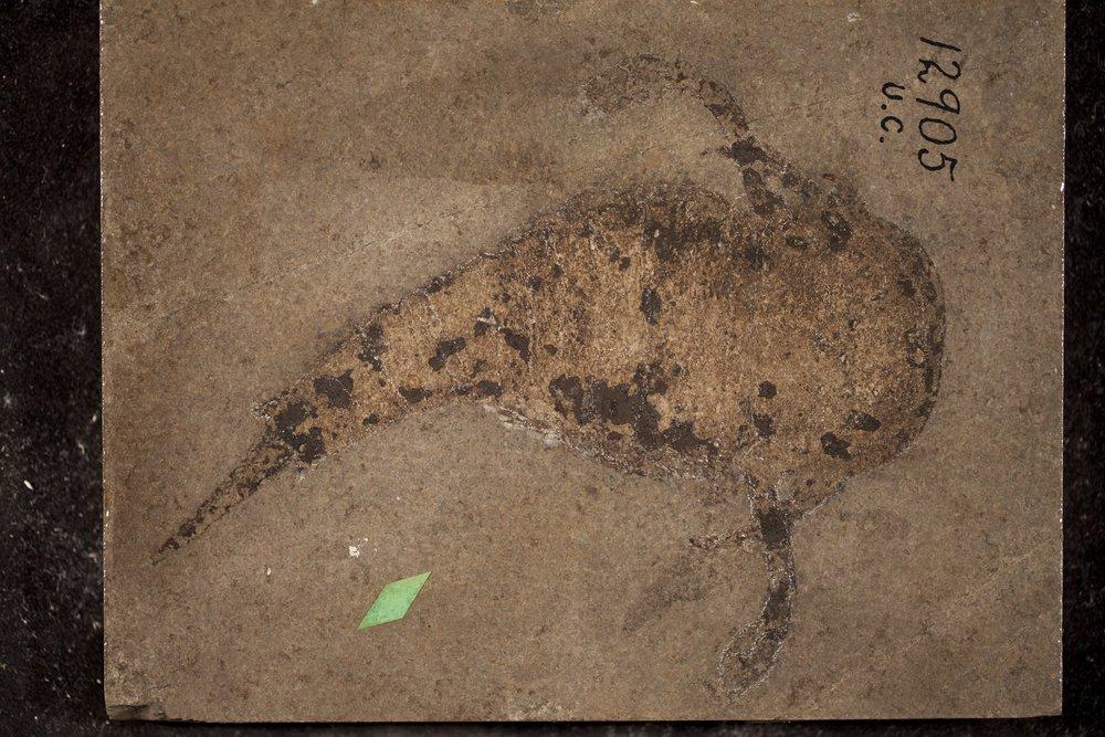 UC1290 Onychopterella kokomoensis, Eurypterus ranilarva holotype.jpg