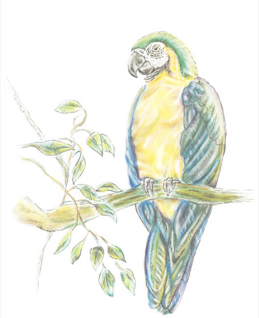 GreenMacaw_drawing.jpg
