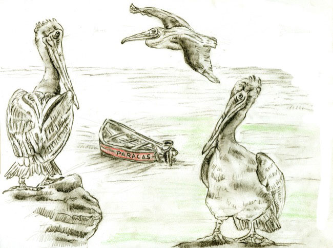 pelicansedited_drawing.jpg