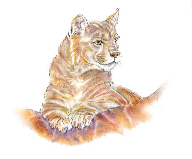 Puma1_drawing.jpg
