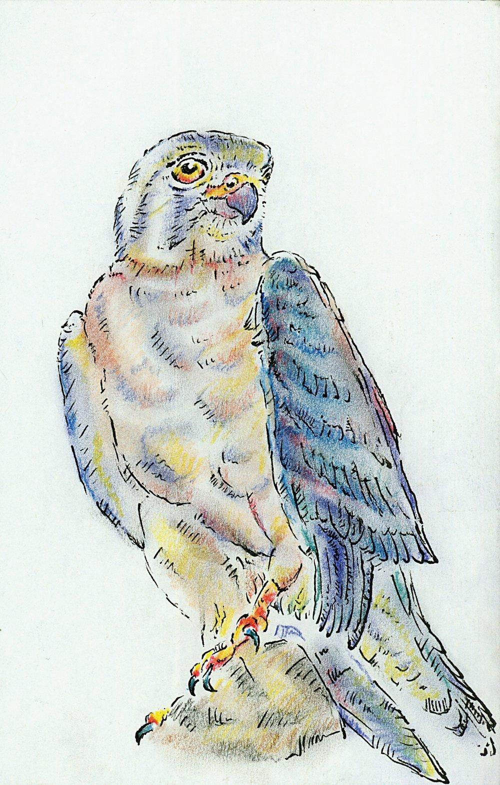 Feb - Andean Falcon .jpg