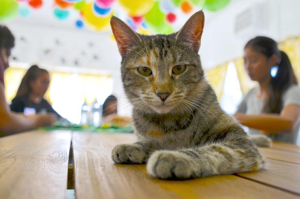 adoptable cats at the dancing cat san jose