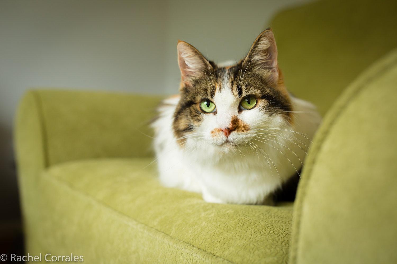 Re Home Your Pet The Dancing Cat Adopt A Cat In San Jose